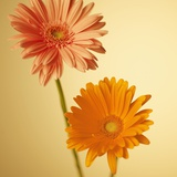 Two Gerbera Daisies Photographic Print