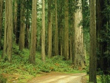 Coast Redwoods Photographic Print by James Randklev