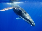 Humpback Whale Underwater Photographic Print by Paul Souders