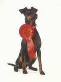 Manchester Terrier Wearing Award Ribbon Photographic Print by Pat Doyle