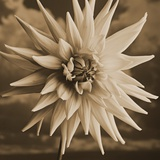 Dahlia with Clouds Behind Photographic Print by Tom Marks