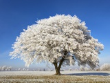 Lime Tree Covered with Frost Photographic Print by Frank Krahmer