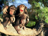 Chimpanzees on Tree Branch Photographic Print
