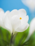 White crocus Photographic Print by Ada Summer