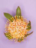 Protea Flower Photographic Print by Tracy Kahn