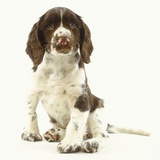 Brown and White Springer Spaniel Puppy Photographic Print by Pat Doyle