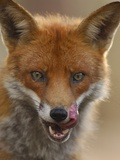 Red Fox Licking its Lips Photographic Print by Andrew Parkinson