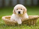 Golden Retriever Puppy in Pet Bed Photographic Print by Jim Craigmyle