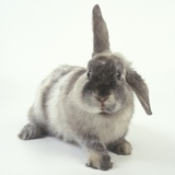 Gray Rabbit with Floppy Ear Photographic Print by Pat Doyle