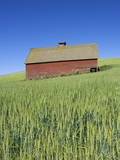 Barn Amongst Wheat Fields Photographic Print by Frank Lukasseck
