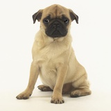Worried Pug Puppy Photographic Print by Pat Doyle