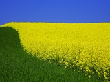 Blooming Rape Plant Field Photographic Print by Walter Geiersperger