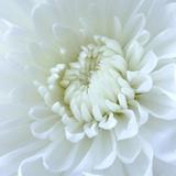 Close-up of White Flower Fotografisk tryk af Clive Nichols