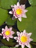 Water lilies Photographic Print by Peter Frank