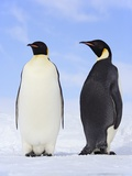 Emperor Penguins Photographic Print by Frank Lukasseck