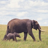 African Elephant Calf with Mother in Savanna Photographic Print