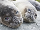 Elephant Seal Pups Photographic Print by Tim Davis