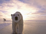 Sun Rising Behind Polar Bears Photographic Print by Kennan Ward