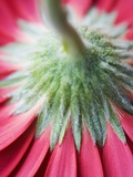 Close-Up of Back of Red Gerbera Daisy Photographie par Clive Nichols