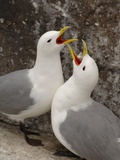 Black-legged Kittiwake Breeding Couple Greeting each Other Photographie par Andrew Parkinson