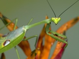 Praying Mantis on Orange Heliconia Flower Photographic Print by  Papilio