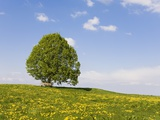 Lime Tree and Dandelion in Pasture Photographic Print by Frank Lukasseck