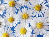 Daisy Blossoms Photographic Print by Frank Krahmer