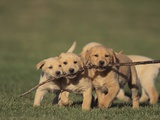 Retriever Puppies Sharing a Stick Photographic Print