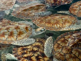 Juvenile Green Turtles in Captivity Photographic Print by Stephen Frink
