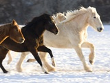 Draft Horse Running With Quarter Horses in Snow Photographic Print by Darrell Gulin