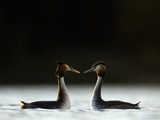 Great Crested Grebes in Courtship Display Photographic Print by Andrew Parkinson