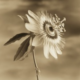 Passion Flower Against the Sky Photographic Print by Tom Marks