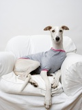 Greyhound Wearing a T-Shirt Fotografie-Druck von Estelle Klawitter