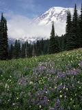 Wildflowers in Meadow Below Mt. Rainier Photographic Print by James Randklev