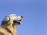 Golden Retriever Wearing Headphones Photographic Print