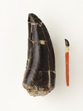 Adult Allosaurus Tooth and Baby Tooth on Match Stick Photographic Print by Louie Psihoyos