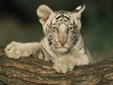 White Bengal Tiger Cub Photographic Print by Andy Rouse