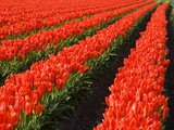 Rows of Red Tulips in Bloom in Skagit Valley Photographic Print by Terry Eggers