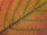 Cherry Tree Leaf in Autumn Photographic Print by Frank Krahmer