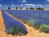 Lavender Field Photographic Print by Jean-pierre Lescourret