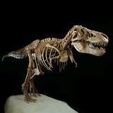 Tyrannosaurus Rex Skeleton Photographic Print by Louie Psihoyos