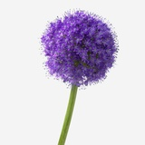 Purple Allium Photographic Print