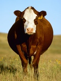 Crossbred Cow in Summer Pasture Photographic Print by Sam Wirzba