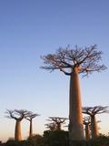 Baobabtræer Fotografisk tryk af Keren Su