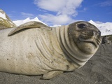 Southern Elephant Seal Weaner Pup on Beach Photographic Print by John Eastcott & Yva Momatiuk