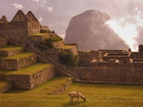 Llama Grazing at Machu Picchu Photographie par Laurie Chamberlain