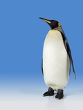 King Penguin Photographic Print by Robert Dowling