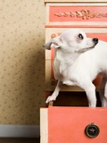 Chihuahua in a drawer Photographic Print