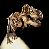 Tyrannosaurus Rex Skeleton Photographic Print by Louie Psihoyos