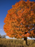 Maple Tree Beside Cornfield Photographic Print by Jim Craigmyle